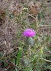 flowers-among-thistles