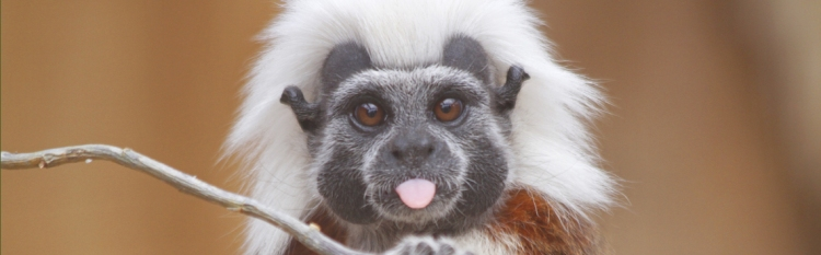 cotton-top-tamarin.jpg