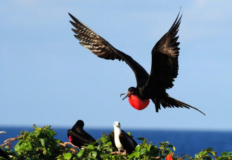 Frigatebird.jpg