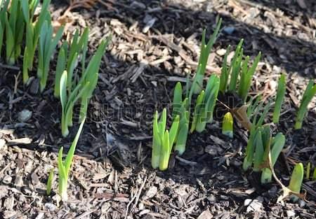 crocus-sprouts.jpg