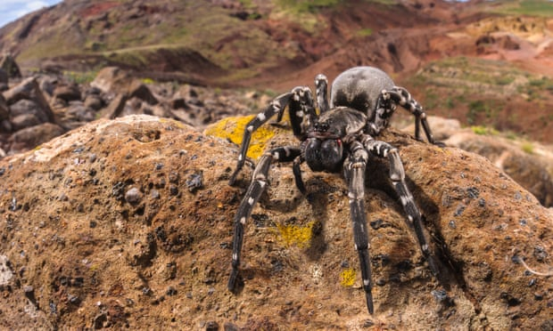 desertas-wolf-spider