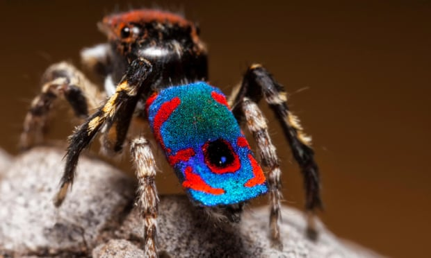 peacock-jumping-spider