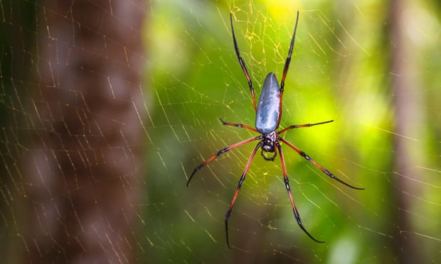 red-legged-golden-orb-weaver-spider