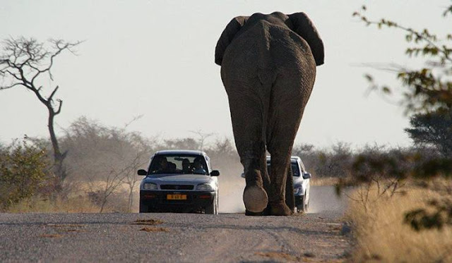 traffic-elephant