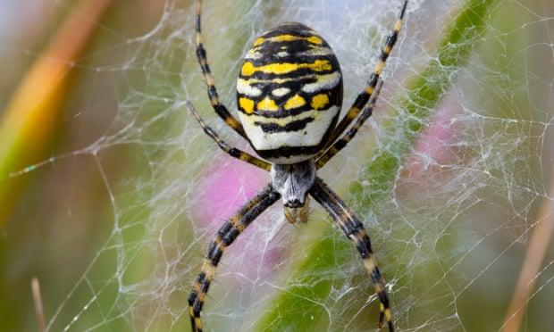 wasp-spider.jpg