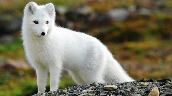 Arctic-Foxes-Cute-Animal