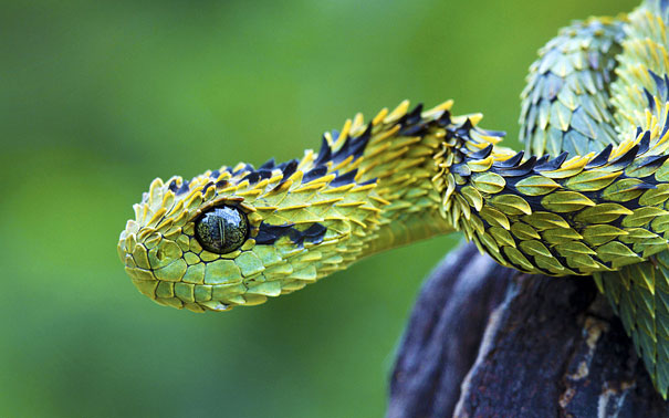 Bush-Viper