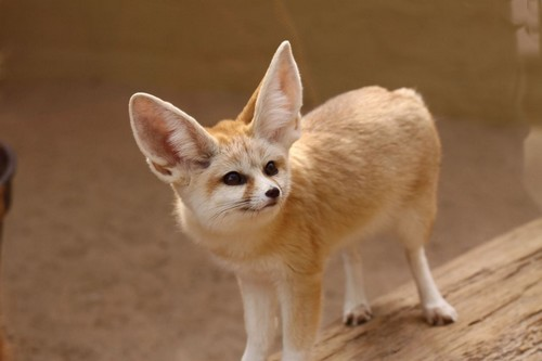 Cute-Fennec-Fox