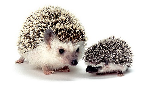 Cute-hedgehogs