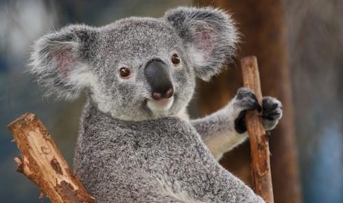 Cute-Koala-Bears