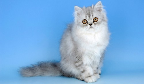 Cute-Persian-Cats