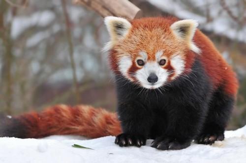 Cute-Red-Pandas