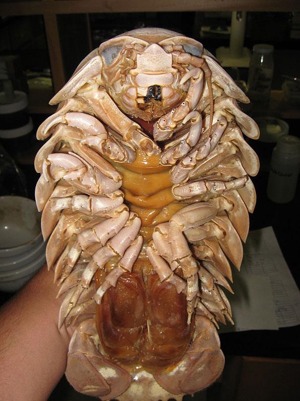 Giant-Isopod-2.jpg