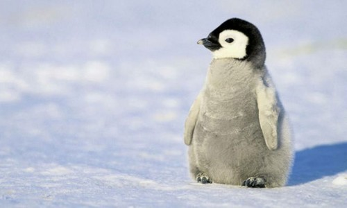 Little-Baby-Penguin