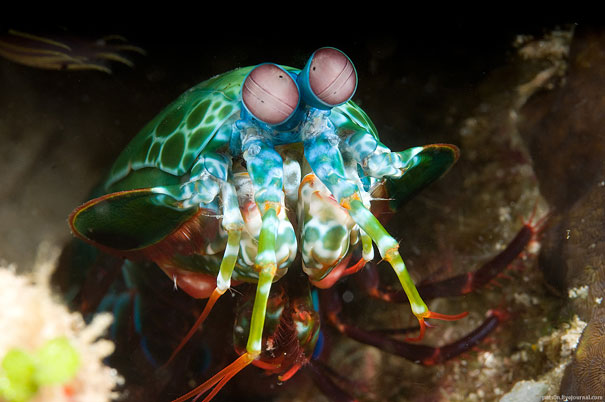 Mantis-shrimp