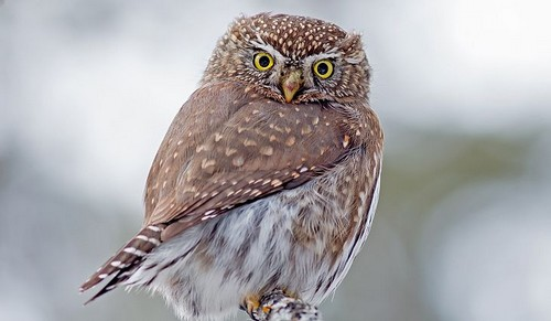 Northern-Pygmy-Owls