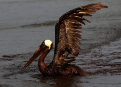 EAST GRAND TERRE ISLAND, LA - JUNE 04: A brown pelican coated in heavy oil tries to take flight June 4, 2010 on East Grand Terre Island, Louisiana. Oil from the Deepwater Horizon incident is coming ashore in large volumes across southern Louisiana coastal areas. (Photo by Win McNamee/Getty Images)