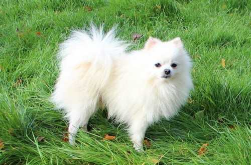 White-Pomeranian-DOG