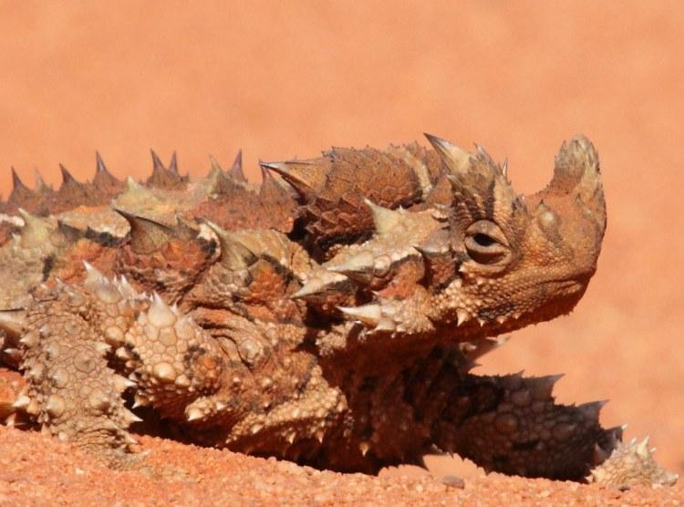 Thorny-dragon-2