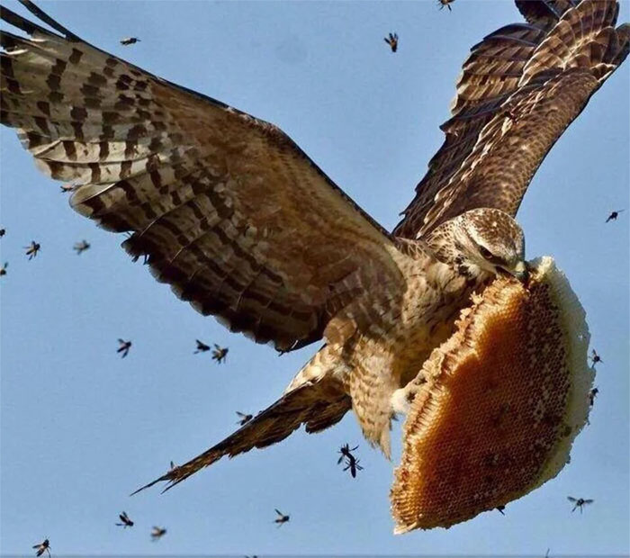hawk-beehive