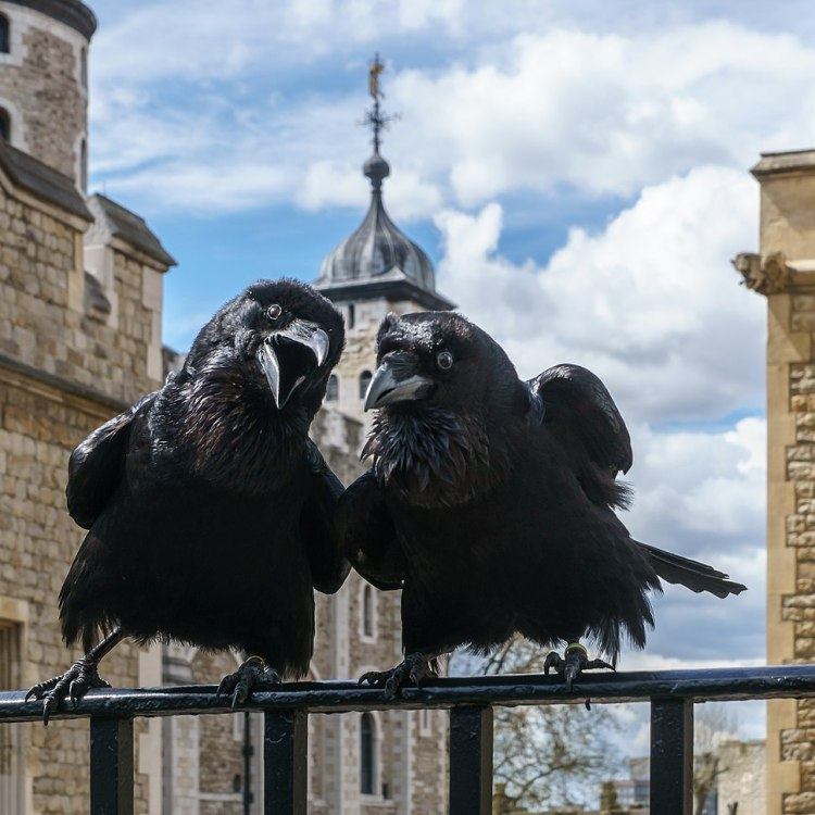 Jubilee and Munin Ravens