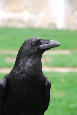 raven-on-watch