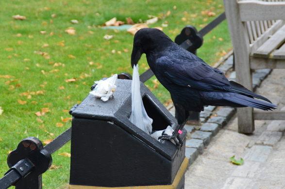 raven-trash-duty