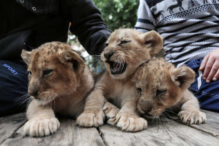 Good People Doing Good Things — Saving Critters Lion-cubs