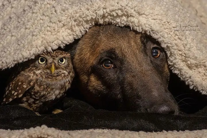 dog-owl-8