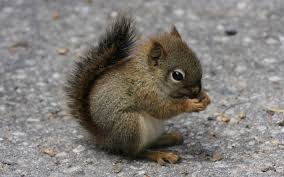 squirrel-baby