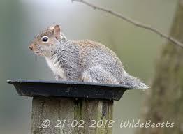 squirrel-bobtail