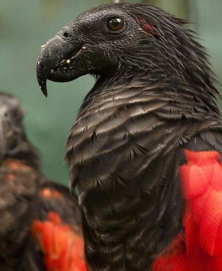 Dracula-parrot-1