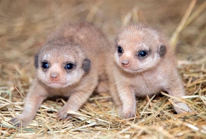meerkat-1