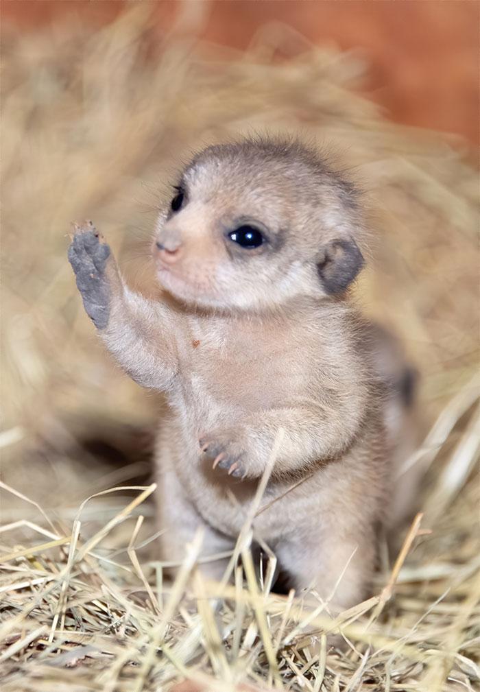 meerkat-2
