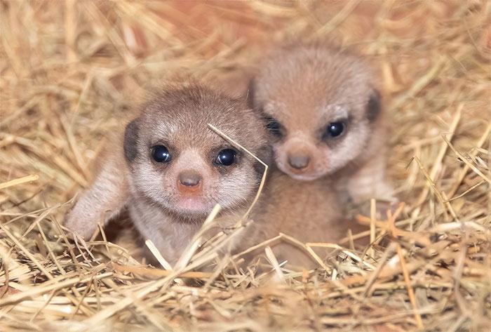 meerkat-3