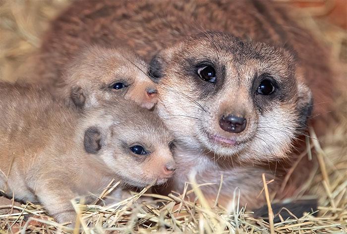 meerkat-4