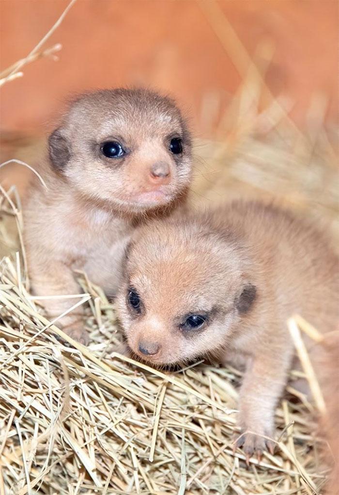 meerkat-5