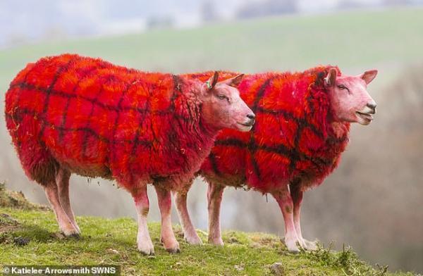 Tartan-sheep-2