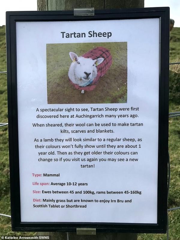 Tartan-sheep-sign