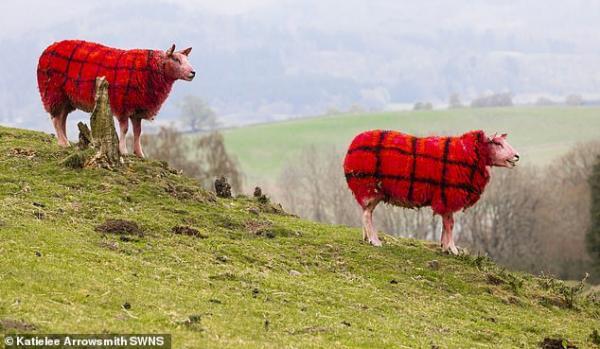 Tartan-sheep