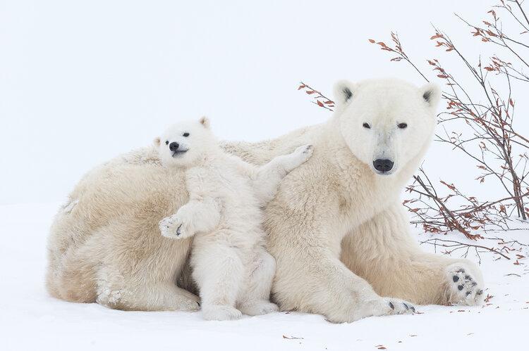 Polar Bear mother with cubs