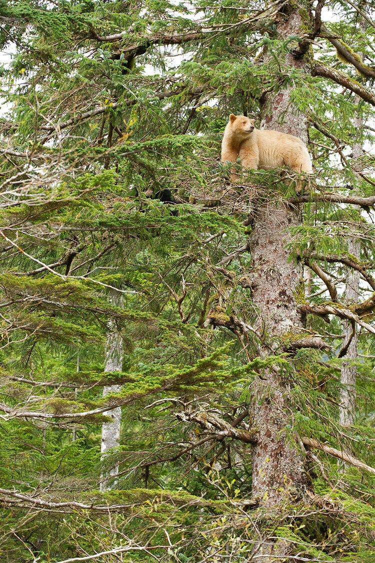 Spirit bear on a tree