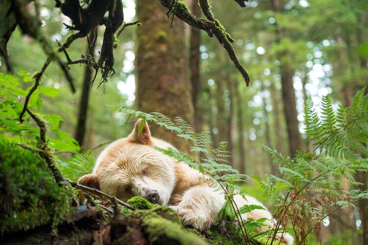 Spirit bear sleeping in the forest