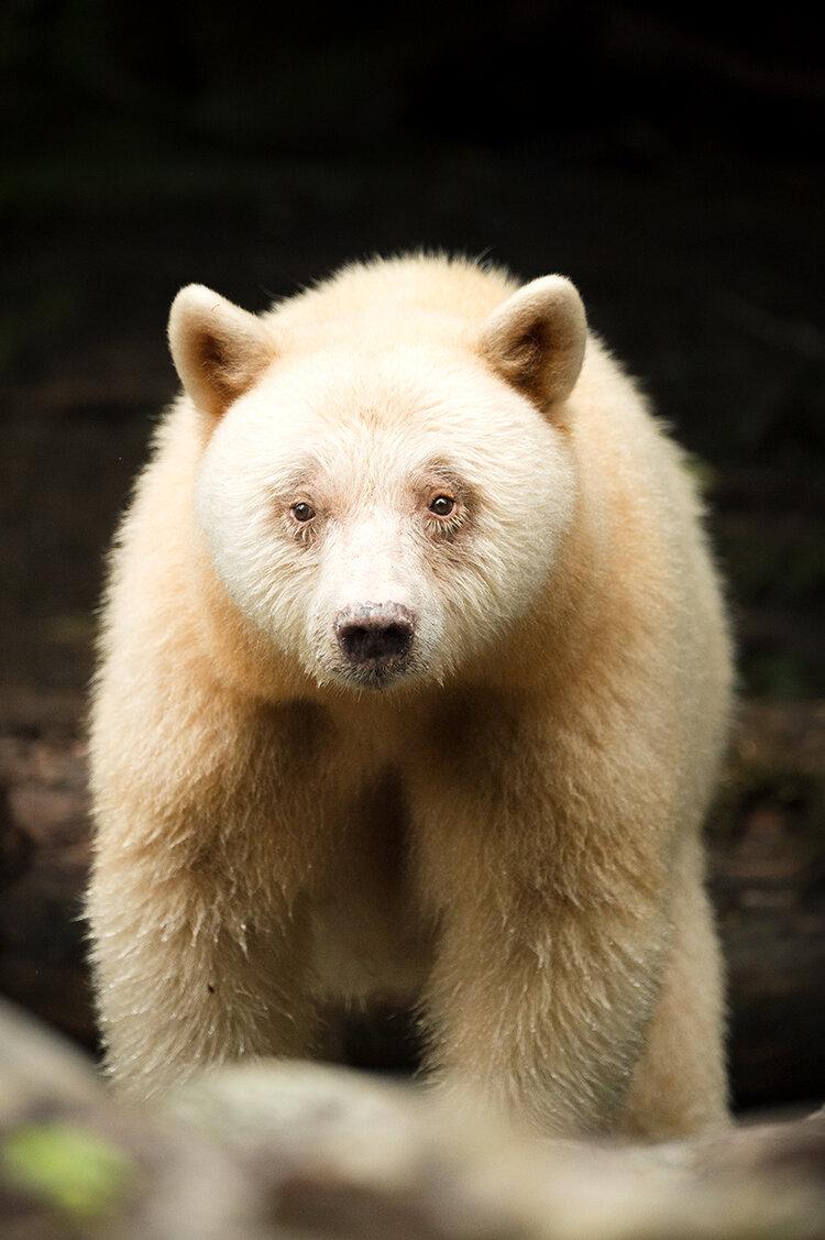 Spirit bear closeup