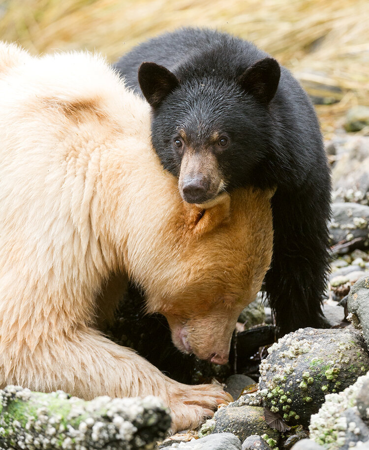 Spirit bear mother with black cub scouting river side in search of dead salmons