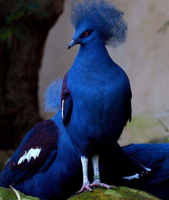 Blue-crowned