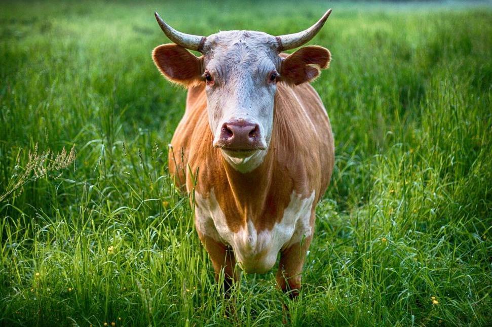 Ron-bull