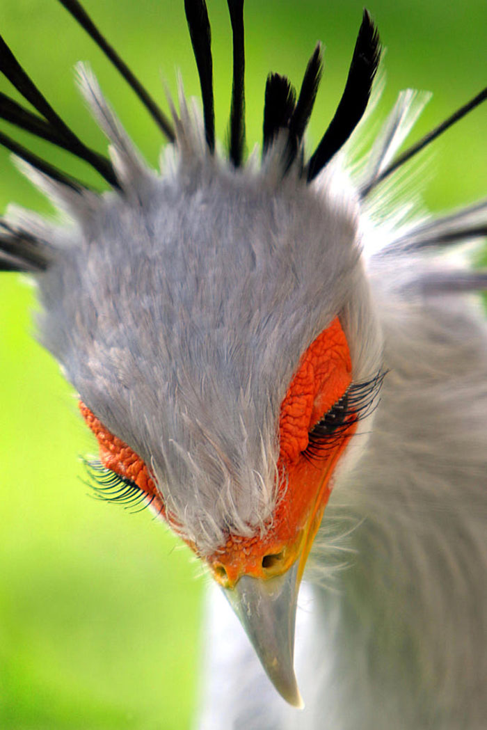 Secretary-bird-1