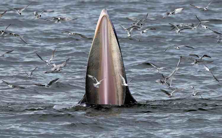 Bryde-whale