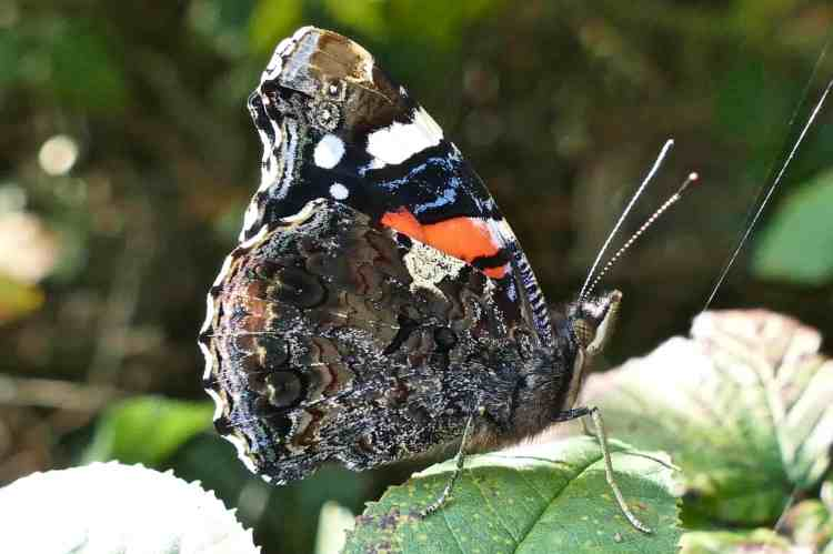 red-admiral-butterfly